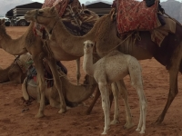 Blau - South - Wadi Rum Desert Tour i