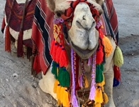 Hyman - North - Dead Sea Camel